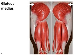 Gluteus medius - Muscles of the Lower Extremit...