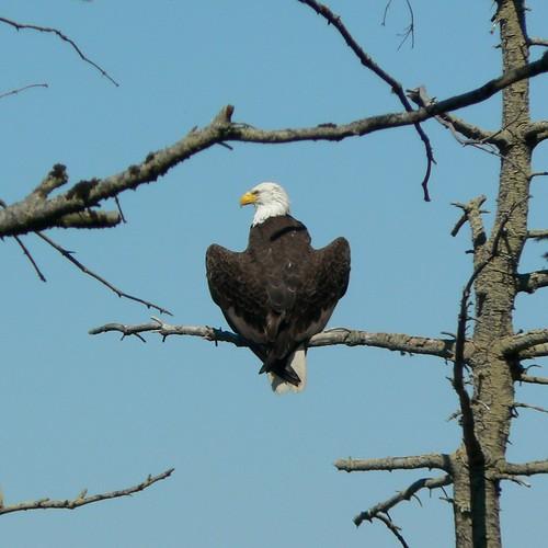 Bald Eagle, Sequim, WA