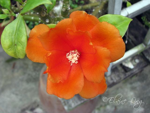 Orangey Joy