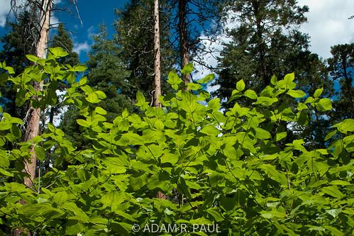 Mountain Dogwood leaves