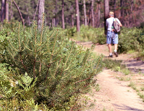 Ossipee Pine Barrens