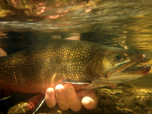 Beautiful New Hampshire Brook Trout