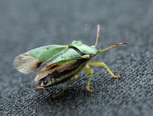 Green Shield Bug 2