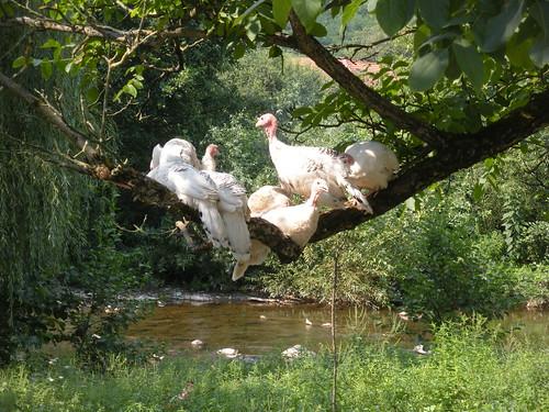 Romanian turkeys in a tree near Tincova