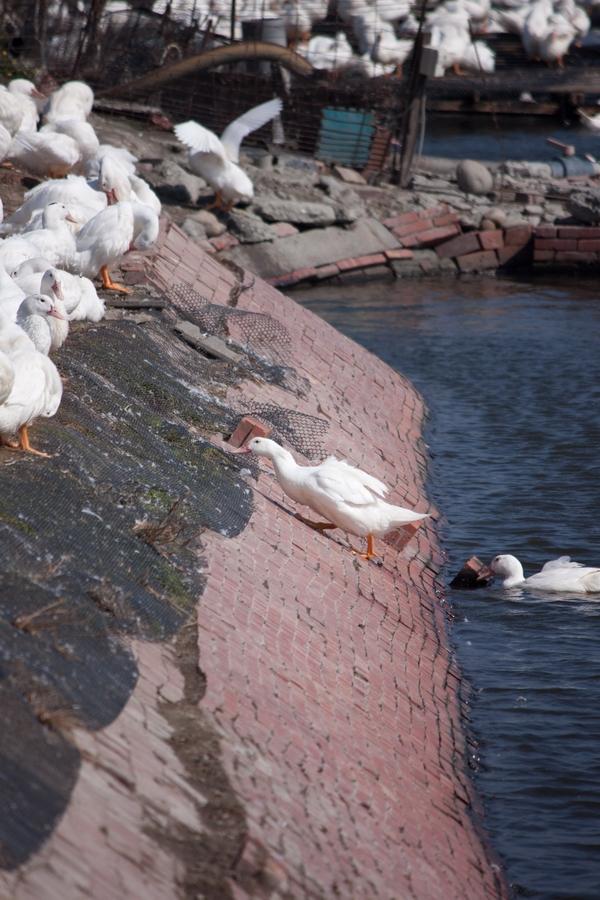 20110205_01_Beautiful Duckling_09
