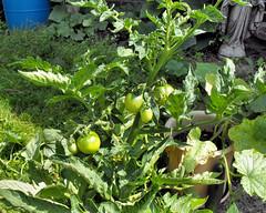 tomatoes 20100630_11