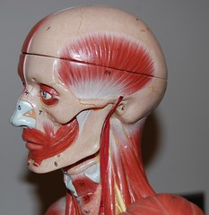 Muscles of the head and neck, left lateral view