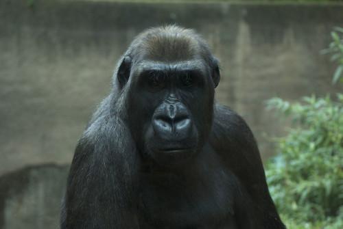 Gorilla 01