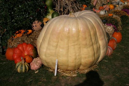 770 pound pumpkin!