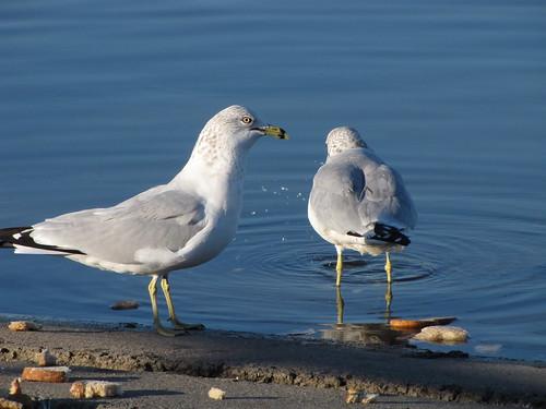 278/365 Gull Food