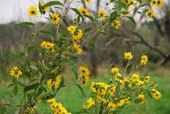 Yellow Wildflowers 075
