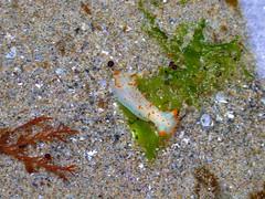 clown nudibranch