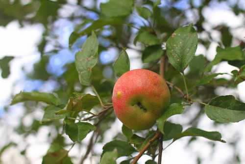 Apple in tree