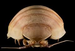 Giant Isopod, Bathynomus giganteus, showing its heavily armored covering.