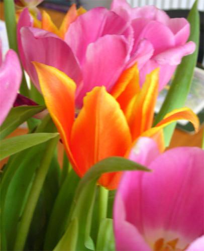 Tulips 02