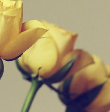 Yellow Roses 02