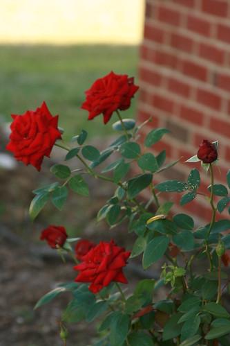 365-261 Rose Bush