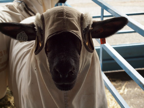 sheep in a jacket