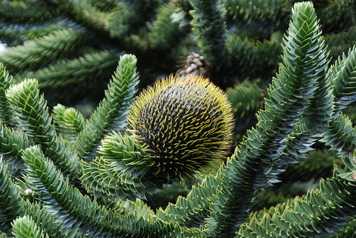 Cone on a  Monkey puzzle tree.