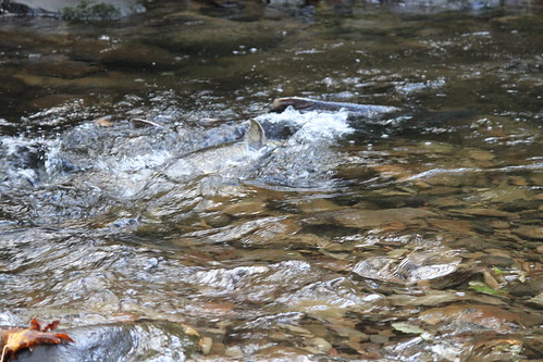Spawning Salmon, Central Coast Range, Oregon