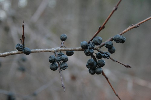 Common Buckthorn (Rhamnus cathartica) berries