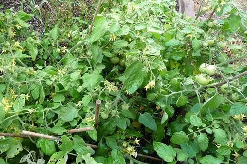 Tomatoes go Wild!