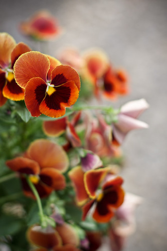 {210/365} more pansies!
