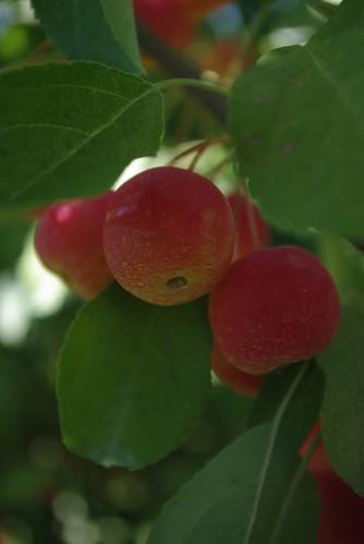 Cherry Apples