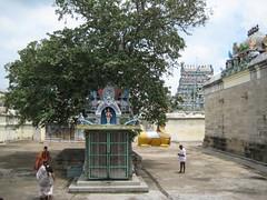 Marudha tree - Sthala Vruksham