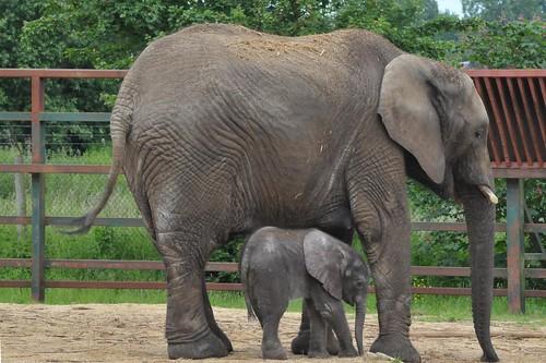 Afrikanische Elefanten Justa und Nelly im Howletts Wild Animal Park