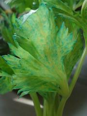Blue Celery Leaves