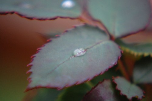 Rose Leaf & Water Drop