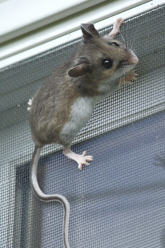 Deer Mouse Vs House Mouse