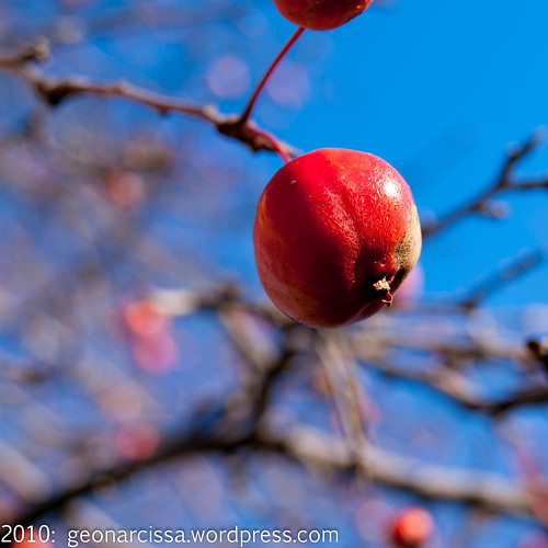 arboretum, autumn, crabapple, november, ontario, ottawa, tree2.jpg