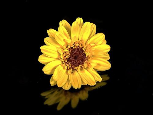Flower Yellow Reflection Virág Sárga Tükröződés