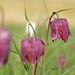 Kungsängslilja - Fritillaria meleagris_04