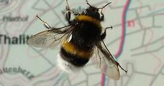 """Die Hummel. Die Hummeln. Die Hummel sitzt auf einer Glasplatte. Hinter der Glasplatte ist eine Karte. • <a style=""""font-size:0.8em;"""" href=""""http://www.flickr.com/photos/42554185@N00/34742566016/"""" target=""""_blank"""">View on Flickr</a>"""