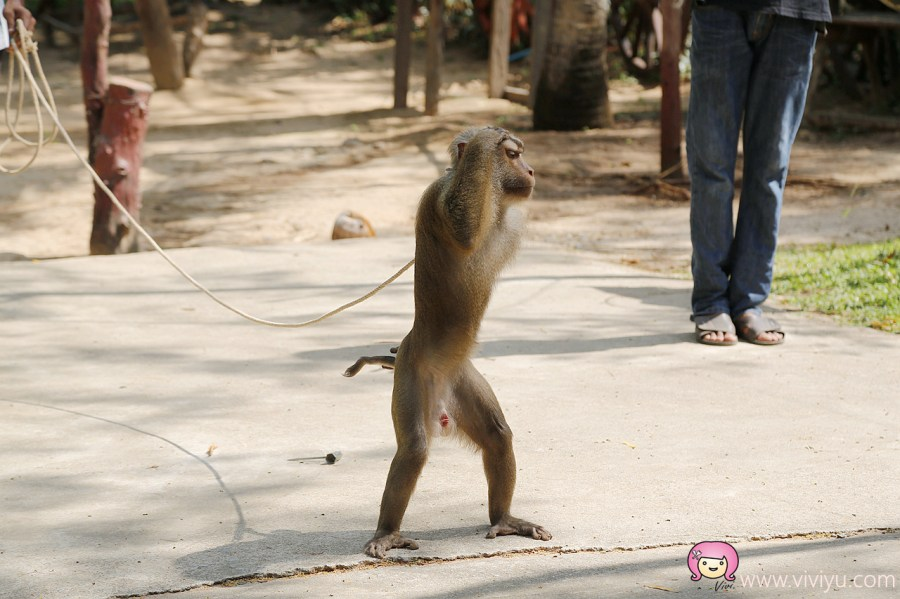 [蘇梅島.旅遊]蘇梅島一日遊~必遊景點金色大佛、秘密瀑布與祖父祖母石.精彩動物表演大象秀與猴子秀 @VIVIYU小世界