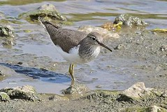 Common Sandpiper at Hogsmill by Tony Quinn