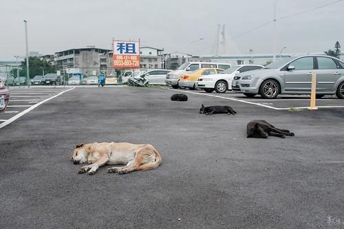 倒一片。| 溫暖的午後裡見到這四隻小狗,我悄悄的走近拍,怕吵醒牠們,拍完又悄悄的離去,正少走到出口時不知道哪裡不對,牠們全醒了,追著我狂吼出來,我只能很鎮定的不理牠們,轉身慢慢走開,而牠們似乎也只是想趕我走而已。