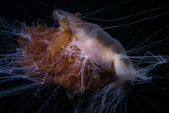"""Lion's Mane Jellyfish (Cyanea capillata) • <a style=""""font-size:0.8em;"""" href=""""http://www.flickr.com/photos/51511072@N04/35299172530/"""" target=""""_blank"""">View on Flickr</a>"""