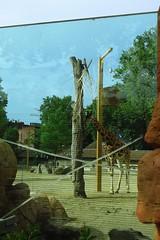 313 - 2017 06 10 - Giraffen wennen aan nieuw verblijf