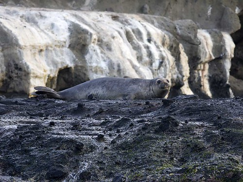 """Southern Elephant Seal - Lawrence Rock, VIC • <a style=""""font-size:0.8em;"""" href=""""http://www.flickr.com/photos/95790921@N07/34297353283/"""" target=""""_blank"""">View on Flickr</a>"""