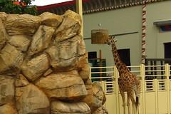 375 - 2017 07 01 - Giraffe