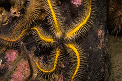 """Common Brittlestar (Ophiothrix fragilis) • <a style=""""font-size:0.8em;"""" href=""""http://www.flickr.com/photos/51511072@N04/34845408944/"""" target=""""_blank"""">View on Flickr</a>"""
