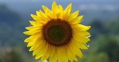 """Die Sonnenblume. Die Sonnenblumen. Die Blüten der Sonnenblumen sehen wirklich aus wie kleine Sonnen. • <a style=""""font-size:0.8em;"""" href=""""http://www.flickr.com/photos/42554185@N00/35095910423/"""" target=""""_blank"""">View on Flickr</a>"""