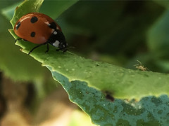 Lady beetle adult on honeydew covered leaf by Ashley Andrews