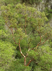 sandal ağacı