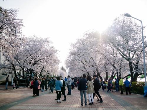 170409_MDY_벚꽃 나들이_4