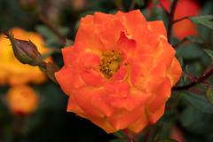 Berlin, IGA 2017: Orangefarbene Rose - Orange rose